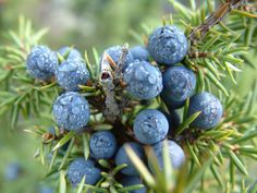 Juniper berry essential oils have been proven to prevent aging and diabetes mellitus. Aging is caused by protein glycation and division of cells. Cancer is also caused from cell division.