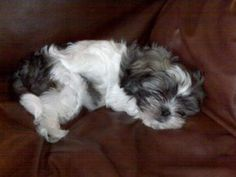 sleeping baby Bubba: Bubba is the most sweet and obedient Mal-shi puppies and loves to cuddle and play. He is the first dog our family has had and we picked the best of the