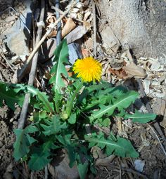Dandelion - tips to cook with and use medicinally