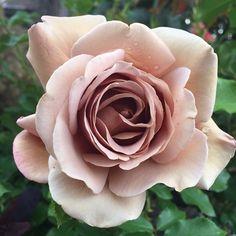 'Koko Loko' Rose www.youtube.com/gardenanswer www.facebook.com/gardenanswer