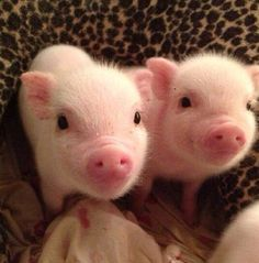 Micro Pigs Cute and Funny Mini Pig Videos Compilation Mini Pigs Adorables Videos Cute Baby Pigs, Baby Animals Super Cute, Cute Piglets, Cute Little Animals, Cute Funny Animals, Baby Piglets, Cutest Animals, Baby Animals Pictures, Cute Animal Photos