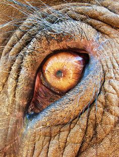 "African Elephant Eyes | ... is lboogie's ""Beautiful Asian elephant eye - Elephant Nature Park"