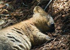 「クアッカワラビーより幸せそうな動物なんて他にいるの?」かわいい写真が人気に:らばQ