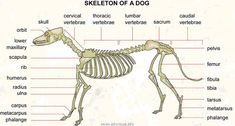 This image portrays the skeletal system of a dog with labels included.