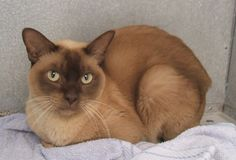 Burmese Cat - Smartest Cat Breed