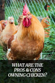 Do you want to know what are the Pros & Cons of owning chicken? In this article, you can read about owning chickens, fresh eggs daily and etc Raising Meat Chickens, Types Of Chickens, Chickens And Roosters, Pet Chickens, Backyard Poultry, Chickens Backyard, Chicken Breeds, Farm Life, Farm Animals