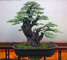 I would love to have this Bonsai Tree in my home!