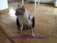 Proteze si Carucioare Veterinare   Galerie Imagini Cats, Animals, Gatos, Animales, Animaux, Animal, Cat, Animais, Kitty