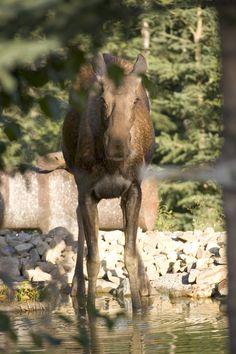 Cow Moose - Fairbanks, Alaska