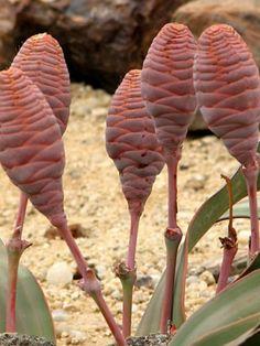 Welwitschia mirabilis (Tree Tumbo, Tumboa) → Plant characteristics and more photos at: http://www.worldofsucculents.com/?p=6238
