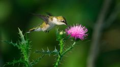 Ruby Throated Hummingbird at a thistle by David Allan on 500px