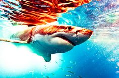 In honor of shark week, here's an absolutely stunning photo of his highness, king of the sea, the Great White. The Great White, Great White Shark, Shark Photos, Shark Pics, Shark Pictures, Shark Bait, Shark Shark, Baby Shark, Ocean Creatures