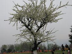 Pear Tree in Sringar