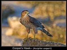 Cooper's Hawk is a medium-sized hawk native to the North American continent and found from Southern Canada to Northern Mexico. As in many birds of prey, the male is smaller than the female. Beautiful Birds, Beautiful World, Cooper's Hawk, Rare Birds, Long Shadow, Birds Of Prey, Predator, Eagles, Bald Eagle