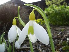 Galanthus WENDY´S GOLD