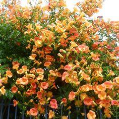 Chinese Trumpet Creeper (Campsis grandiflora -or- Campsis chinensis)