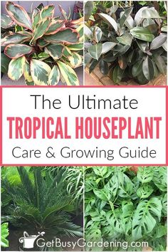 Did you know that tropical plants make some of the best houseplants? Learn how easy it is to care for many of these exotic beauties with this comprehensive growing guide, including proper watering, humidity, fertilizing, and so much more. Find out how to determine which types of common tropical plants will do best inside your house, based on light and moisture requirements. Pick up tips on how to troubleshoot pest, foliage, and leaf problems, and make sure yours thrives indoors all year… House Plant Care, Exotic Beauties, Tropical Plants, Houseplants, Indoor Plants, Fertilizer For Plants, Water Plants, Types Of Plants, Look Cool