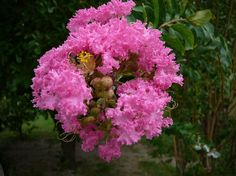 Oya Ağacı Çiçeği