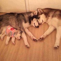 Une famille Husky pleine d'amour