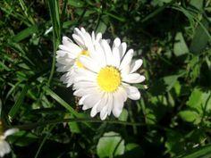 NAŠE ZAHRADY: Sedmikráska chudobka.  Přestože lze květy sedmikrá...