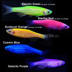 What my 5 yr old wants Glofish.aquarium kit includes blue LED lights and the fish actually glow Tropical Freshwater Fish, Tropical Fish Aquarium, Freshwater Aquarium Fish, Aquarium Fish Tank, Aquarium Kit, Fish Tanks, Danio Fish, Cool Fish, Fish Care