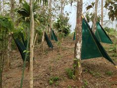 Shade teepees for newly planted organic vanilla plants