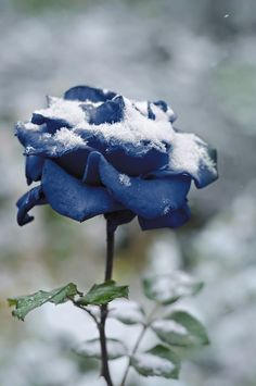 The rose in the snow amid nature, Bokeh. Tinted in blue. by GALINA BONDARENKO - Photo 183889259 / 500px
