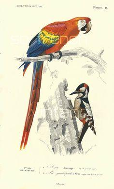 1861 Perroquet Ara Orbigny Planche Originale Couleurs peintes à la main oiseaux tropicaux forêt tropicale faune plumage rouge jaune bleu