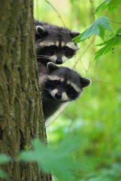 Curious Raccons