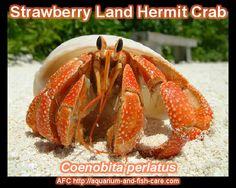 Strawberry-Land-Hermit-Crab