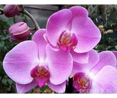 Phalaenopsis PH 080/1 Happy Valentina
