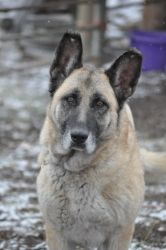 Sasha is an adoptable German Shepherd Dog Dog in Hamilton, MT. Sasha is a wonderful 8-9 yr old, senior girl that went into a seniors home, but that senior ended up in the hospital, so now needs anothe...