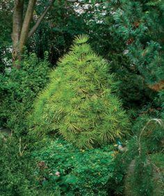 conifer for shade; 'Joe Kozey' Japanese umbrella pine