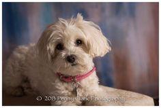 Gretchen, maltipoo Maltese Poodle Mix, Maltipoo Dog, Pet Photography, Jackson, Pets, Board, Animals, Animals And Pets, Animales