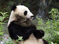 Banco de Fotos gratis: Tierna foto de panda y koala abrazandose