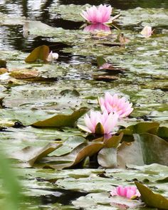 My French Country Home, Lily Pond, Water Lilies, Backyard Ideas, Flowers, Pink, Painting, Instagram, Art
