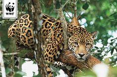 Enfin un chiffre encourageant: en 2014, dans la forêt atlantique argentine, on a recensé une dizaine de jaguars de plus qu'en 2008. Mais cette amélioration, qui porte à 70 le nombre total de ces félins, demeure insuffisante pour assurer la survie de l'espèce dans la région. Notre objectif est d'atteindre un effectif de 250 animaux, qui permettrait de préserver la population de jaguars à long terme.