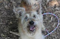 Scruffy is an adoptable Schnauzer Dog in Bloomington, IN. All dogs from the Bloomington Animal Shelter are microchipped, have their first round of vaccinations, including de-worming, are tested for he...