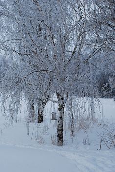 Weeping Birch by Danielle Carrier, via Flickr