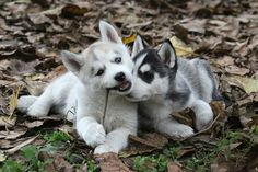 huskys....I want the one on the left!!