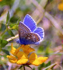 Common blue butterfly - spotted 14.5.18