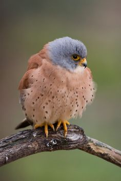 #bird Wow this falcon has much fluff to go around!