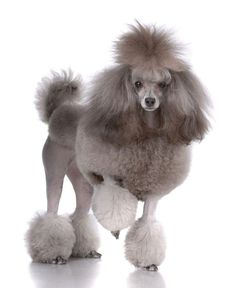 #Poodle Diva... For more cute pinable pictures of #dogs click on this image