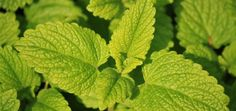 DIY Cold Sore Balm Some studies indicate that lip balm made with lemon balm infused oil may help lessen the symptoms and reduce heal. Natural Cold Remedies, Herbal Remedies, Bee Friendly Plants, Mosquito Repelling Plants, Lemon Balm, Cold Sore, Healing Herbs, Spring Garden, Kraut