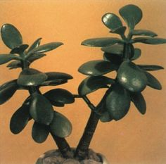 Jade Plant (Crassula Argentea) It is a many-branched, thick-stemmed succulent with fleshy, spoon-shaped, jade-green leaves that are edged in red in full sun. - Light Requirement : Bright Light to Full Sun - Water Requirement: Drench, Let Dry Hosta Plants, Jade Plants, Houseplants, Jade Plant Care, Chinese Money Plant, Crassula Ovata, Rubber Tree, Sun And Water, Plant Images