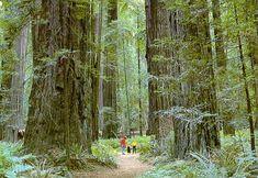Redwood Forest California Photo of Bernadette Jim Dempsey