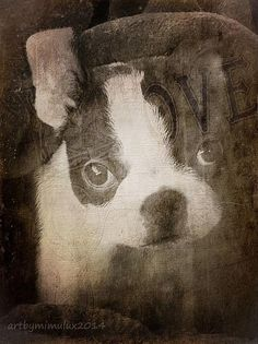 It's A Kind of Boston Magic  photoArt by mimulux patricia no  many thanks go to the modell - my little Boston Terrier Pup, Isobelle