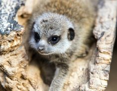 Young Meerkat in a Tree Framed Photograph East Urban Home Size: H x W Painting Prints, Canvas Prints, Wilderness Trail, Time In Germany, What Is A Shadow, Traditional Frames, Thing 1, Great Photos, Framed Wall Art