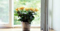 С помощью этого простого способа, можно вырастить розу из срезанного цветка.
