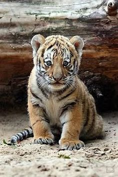 More tiger cubs, love this one!
